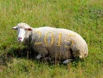2015 auf den Schafen, die auf dem Gras weiden lassen Stockfotografie