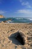 Auf den Strand gesetzte Dichtung Stockfoto