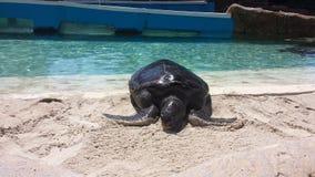 Auf den Strand gesetzte Schildkröte Stockfoto