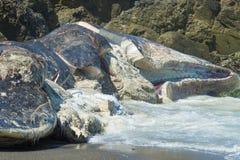 Auf den Strand gesetzter Pottwal Lizenzfreies Stockbild