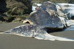 Auf den Strand gesetzter Pottwal Lizenzfreie Stockfotografie