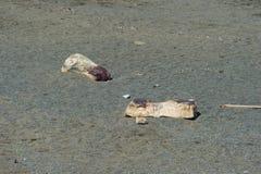 Auf den Strand gesetzter Pottwal Stockfoto