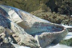 Auf den Strand gesetzter Pottwal Stockfotografie