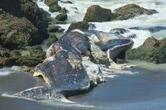 Auf den Strand gesetzter Pottwal Lizenzfreie Stockfotos