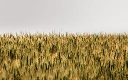 Auf den unbegrenzten Gebieten die Bearbeitung des Weizens stockfotos