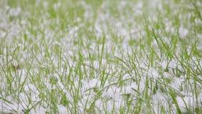 Auf den weißen Schneefällen des grünen Grases stock video footage
