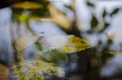 Auf die Pfützengelbblätter von Bäumen und eine Reflexion eines Baums schwimmen, Herbst Stockfotos