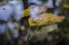 Auf die Pfützengelbblätter von Bäumen und eine Reflexion eines Baums schwimmen, Herbst Stockbild