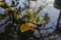 Auf die Pfützengelbblätter von Bäumen und eine Reflexion eines Baums schwimmen, Herbst Stockfotografie