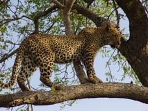 Auf einem Baum van de luipaard royalty-vrije stock fotografie