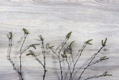 Auf einem hölzernen Hintergrund knospt Birkenzweige mit Blüte Grün Lizenzfreie Stockfotografie
