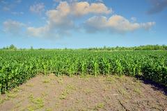 Auf einem Hintergrund eines Hügels Maisfeld behandelte mit Chemikalien für die Zerstörung von Unkräutern Stockfoto
