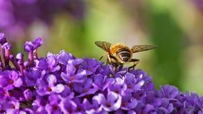 Auf einen purpurroten Buddleia hoverfly einziehen Lizenzfreie Stockfotografie