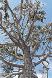 Auf einer alten schneebedeckten Kiefer oben schauen, blauer Himmel oben Lizenzfreies Stockfoto