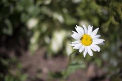 Auf einer Gänseblümchenblume sitzen Sie eine Fliege und eine Ameise Stockbilder