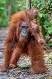 Auf einer Mama ` s Rückseite CUB des Orang-Utans auf Mutter ` s Rückseite Stockfotos