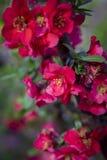 Auf einer Niederlassung der japanischen Quitte, blühten Blumen Lizenzfreies Stockfoto