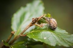 Auf Erlenblatt diadematus Araneus Στοκ Εικόνες