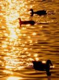 Auf goldenem Teich Stockfotografie
