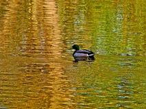 Auf goldenem Teich Lizenzfreie Stockbilder