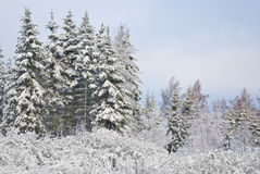 Auf kleiner Lichtung wachsen Pelzbäume Lizenzfreie Stockbilder