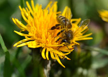 Auf Löwenzahn/abeja de Biene en el diente de león Imagenes de archivo