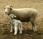 Auf Lager Sie Foto der Schafe Stockfoto