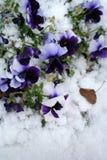 Auf lagerbild von Pansies unter Schnee stockbilder