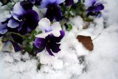 Auf lagerbild von Pansies unter Schnee Lizenzfreies Stockfoto