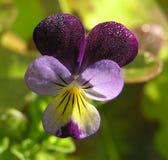 Auf lagerfoto der süße Erbsen-Blume Stockfotografie