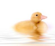 Auf lagerfoto der Schätzchen-Ente Stockbild