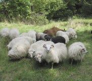 Auf lagerfoto der Schafe Stockfoto