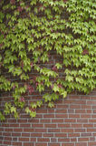 Auf lagerfoto des Efeus auf Backsteinmauer Stockfoto
