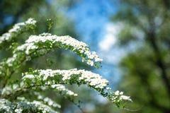 Auf Niederlassung blühte das spirea viele kleinen Blumen Beschaffenheit oder Hintergrund stockbilder