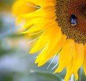 Auf Sonnenblume sitzt Biene, Nahaufnahme Lizenzfreie Stockfotografie