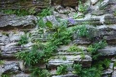 Auf Steinen wachsen Sie Blumenkornblumen Lizenzfreie Stockfotografie
