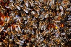 Auf Wabe di Honigbienen Fotografie Stock Libere da Diritti