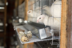 Auf Wachtelbauernhofvögeln in den Käfigen Stockfotografie