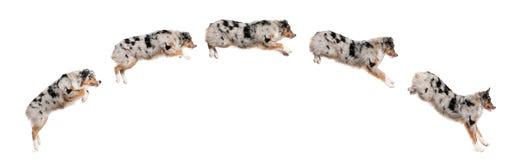 Aufbau des australischem Schäferhundhundespringens Stockfoto