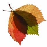 Aufbau vom transparenten Herbstblatt Stockfotografie
