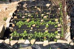 Aufbauen eines formalen Gartens des Gemüses und des Krauts. Stockbilder
