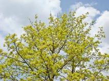 Aufblühendes Ahornholz stockbild