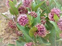 Auffälliger Milkweed in der Utah-Wüste stockbild