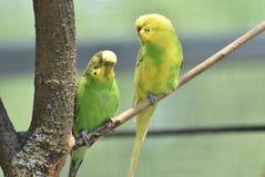 Auffallende gelbe und grüne Budgie-Paare zusammen in einem Baum Stockfotografie