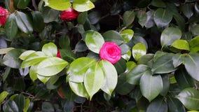 auffallende Rose ähnliche Blumenblumenblätter Lizenzfreie Stockbilder