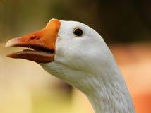 Auffallender Gans-Kopf-offene Schnabel-Nahaufnahme Stockfotos