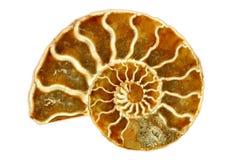 Auffallendes getrenntes einzelnes Nautilus-Fossil auf Weiß lizenzfreie stockfotos