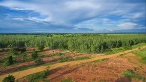 Aufforstung des Eukalyptus für Produktion Stockbild