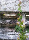 Auffrischungskriechpflanze, die alte Backsteinmauer klettert Stockfotos