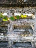 Auffrischungskriechpflanze, die alte Backsteinmauer klettert Lizenzfreie Stockfotos
